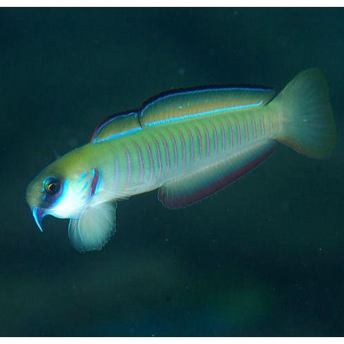 Bar Goby Ptereleotris Zebra Tropical Fish Fish Pet Aquarium Fish