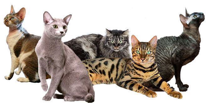 Hypoallergenic Cats With Images Bengal Cat Bengal Cat Facts Cat Breeds
