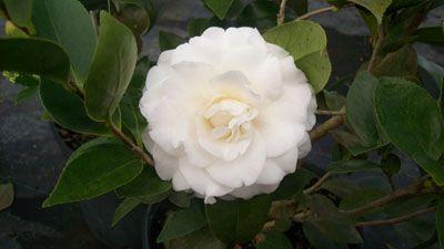 Camellia Japonica White Empress Camelia