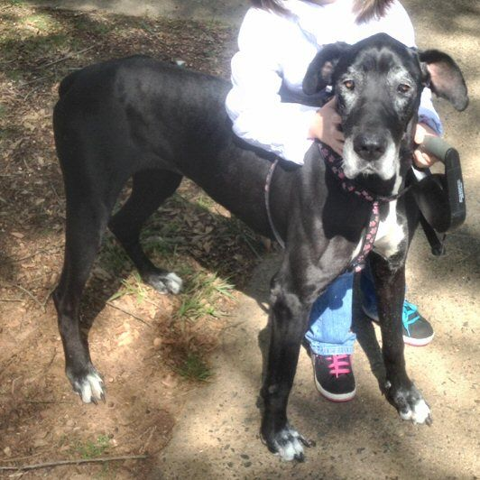 Meet Shelby A Petfinder Adoptable Great Dane Dog Rutherfordton