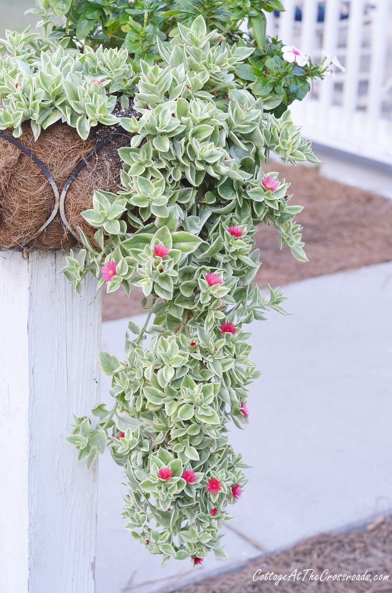 Mezoo Trailing Red My Favorite Succulent Flowering Succulents Hanging Succulents Hanging Plants
