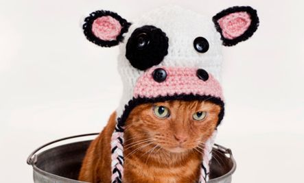 meow cow caption contest winners  cute photos cow meows