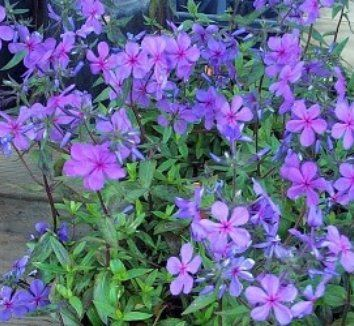 Phlox divaricatus 'Louisiana Blue' 1 flower