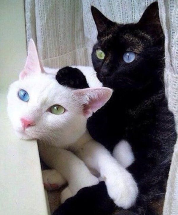 A Black And A White Cat With One Blue And One Green Eye Upopin Animals Cute Animals Beautiful Cats