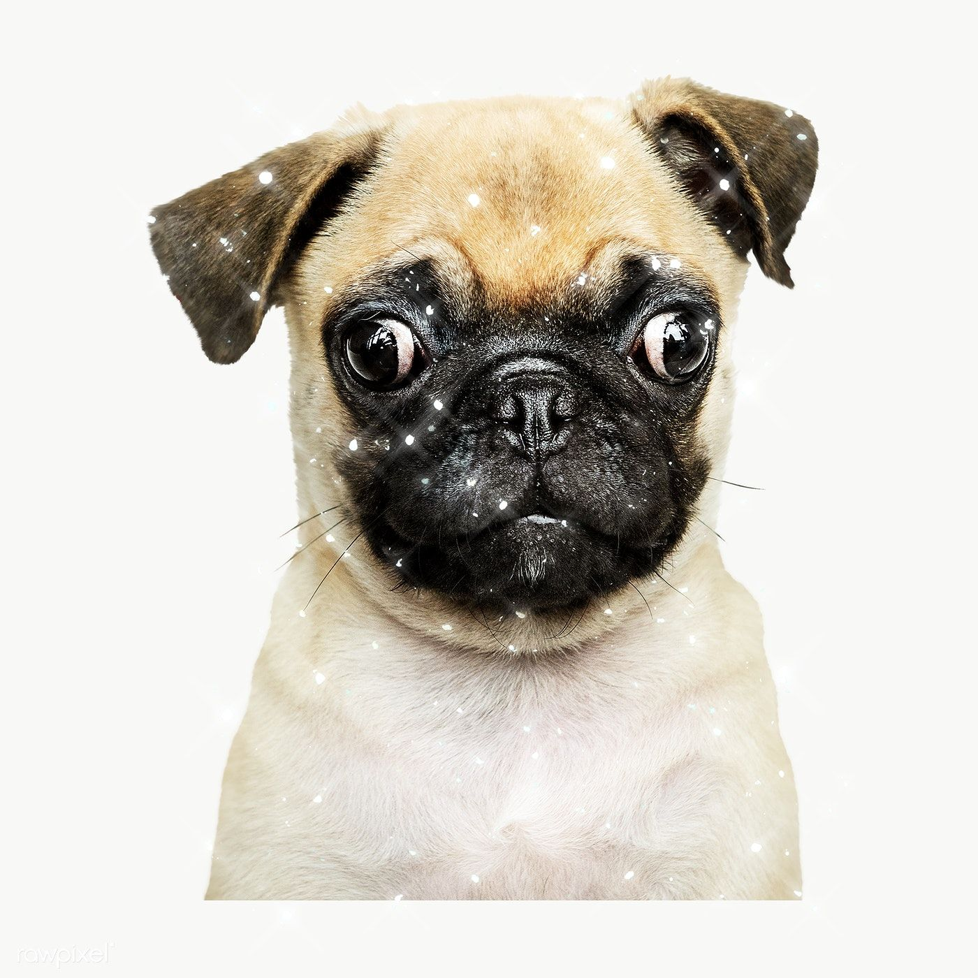Sparkling Pug Puppy Design Element Free Image By Rawpixel Com Manotang Pug Puppy Pugs Puppies