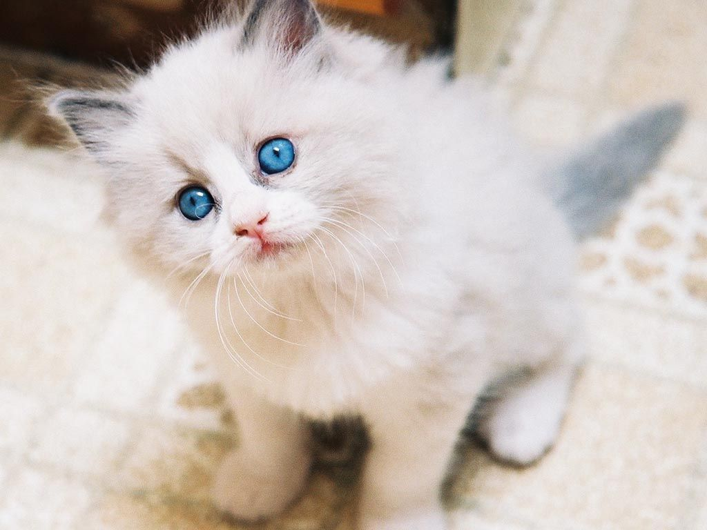 OMG 43 Cute white kittens with blue eyes