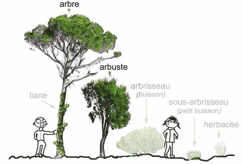 identifier un arbre ou un arbuste par ses feuilles. Black Bedroom Furniture Sets. Home Design Ideas