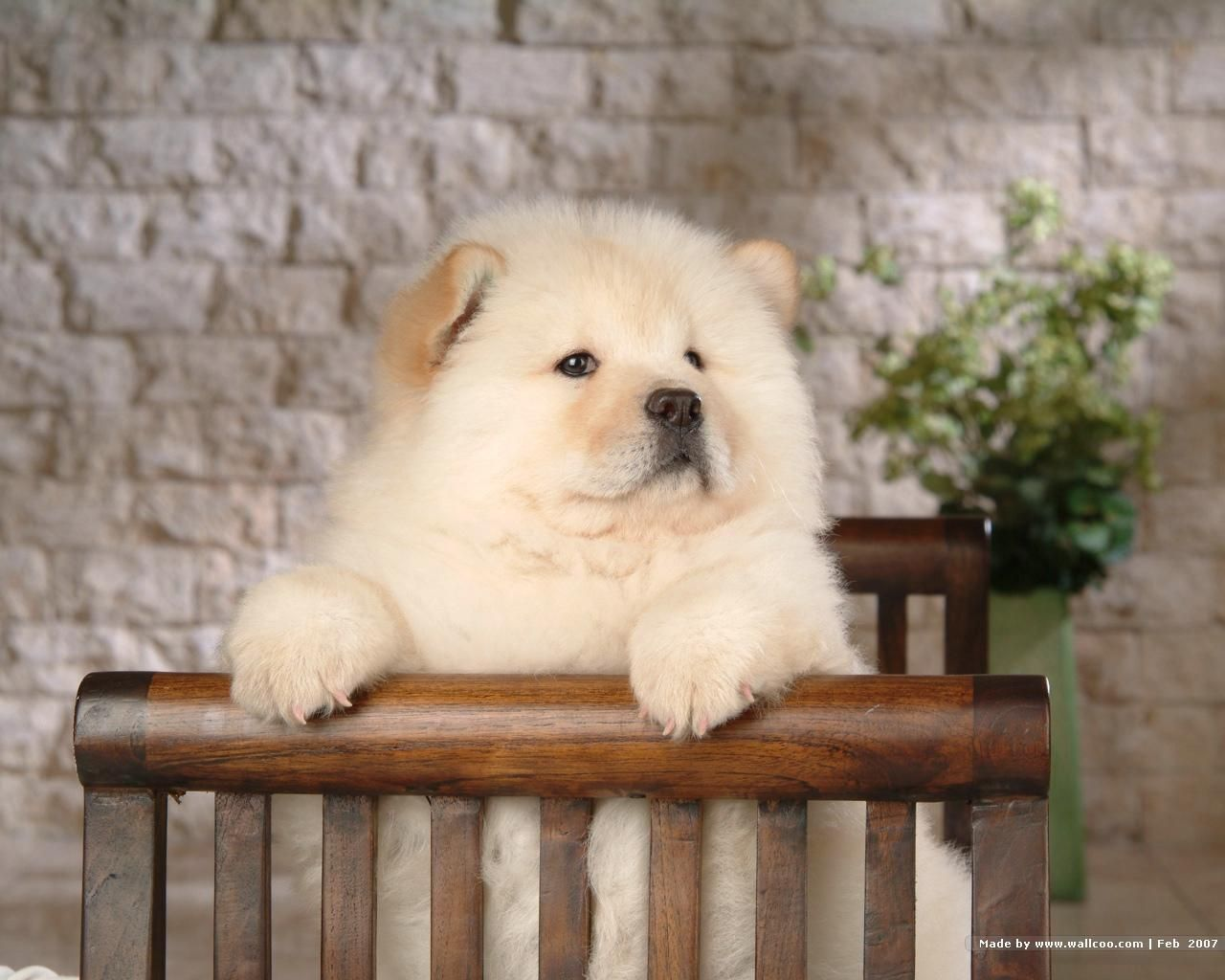 Chow Chow Puppy Wallpaper Chow Chow Dogs Chow Chow Puppy Chow