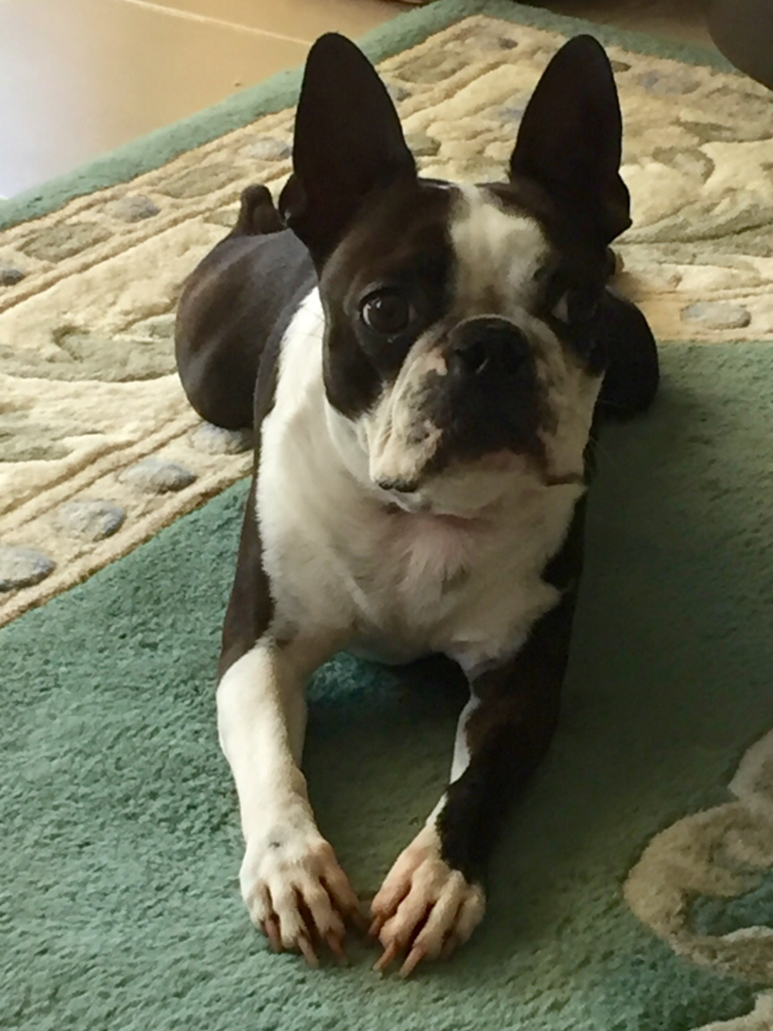 Pin By Courtney On Boston Terrier Mom Animals Friends Boston Terrier Cute Animals