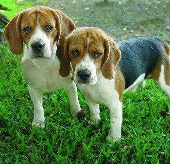 Beagle Grooming Beagle Pictures Beagle Dog Beagle Puppy