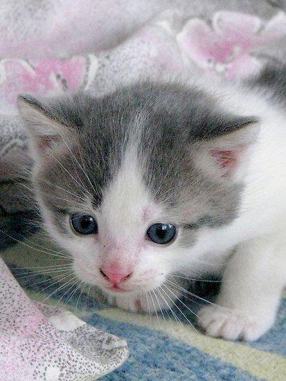 precious grey white kitten. Black Bedroom Furniture Sets. Home Design Ideas