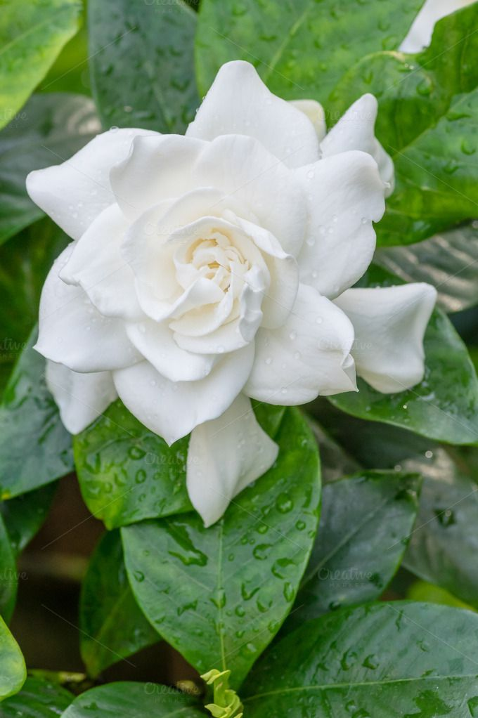 White Gardenia Flower Heat Tolerant Flowers Flower Meanings Fragrant Flowers