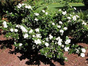 Dwarf Gardenia On Either Side Of Front Door Fragrant Garden