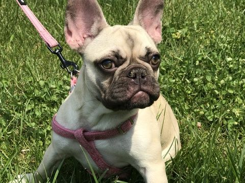 French Bulldog Puppy For Sale In Fishers In Adn 30620 On