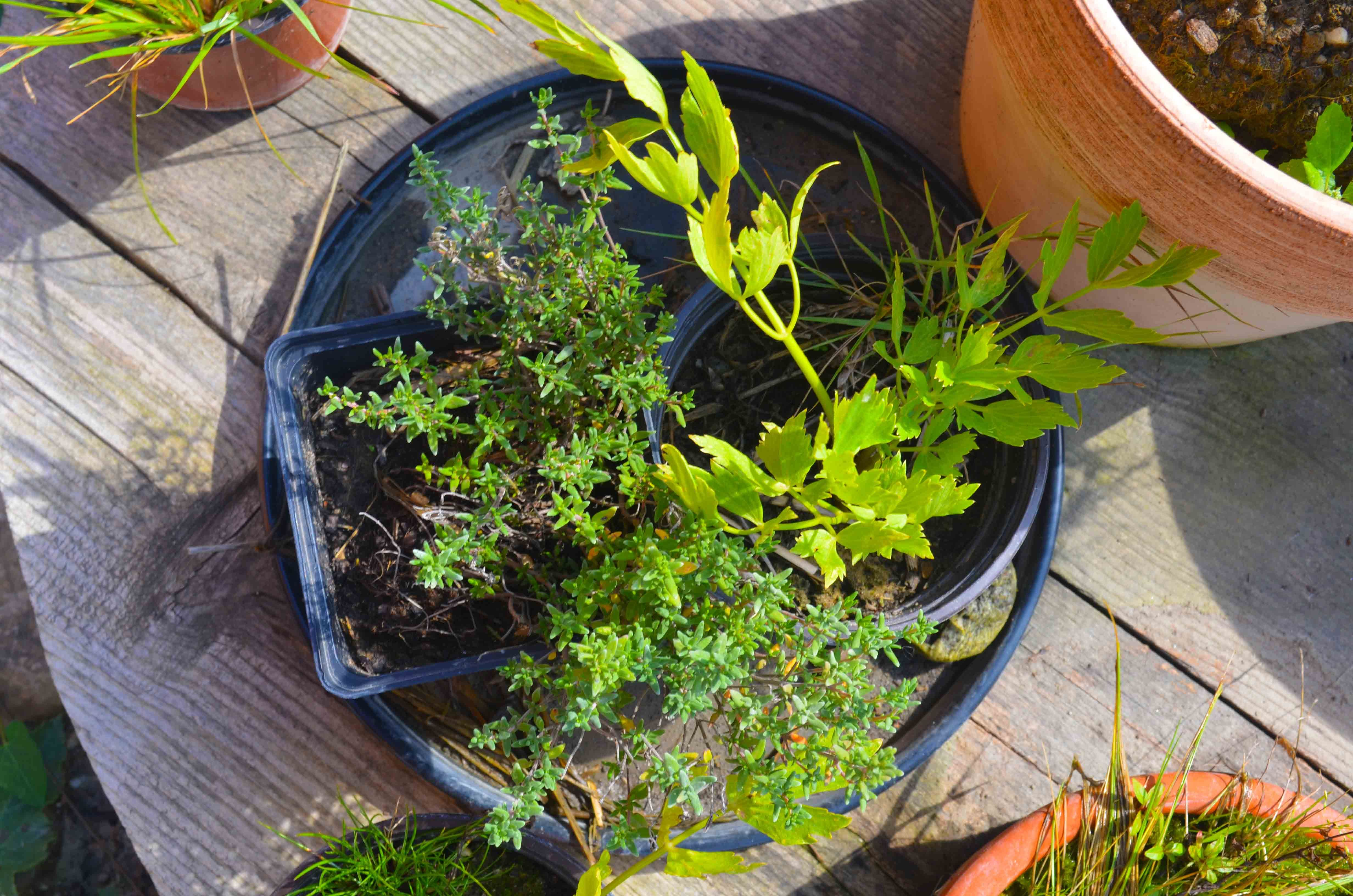 Gemüse anbauen im Topf für Anfänger Gemüse anbauen