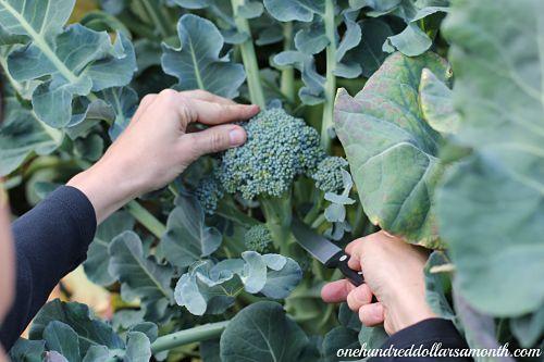 When To Harvest Broccoli Trad Gard