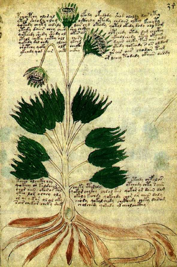 Voynich Manuscript with what seems to be a sunflower.