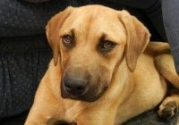 Adopt June On Rhodesian Ridgeback Dog Rhodesian Ridgeback Dogs