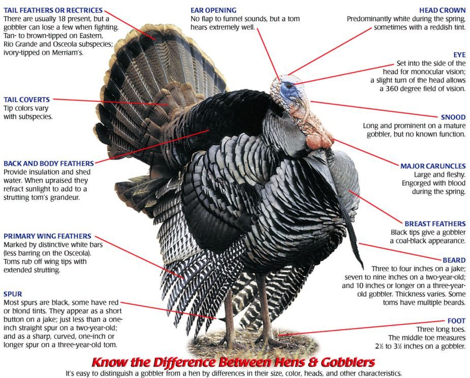 Turkey+Anatomy | Tuesday, November 17, 2009 | turkeys | Pinterest