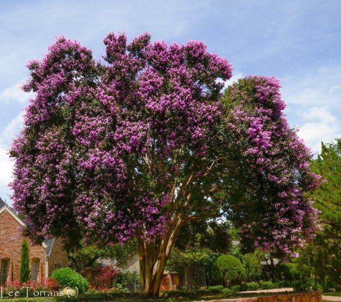 Purple Crape Myrtles Myrtle Tree Crape Myrtle Crepe Myrtle Trees