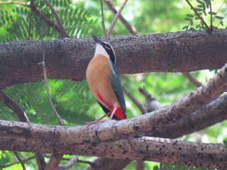 Indian Pitta,Kuldiha Wildlife Sanctuary, Odisha, India