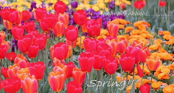 Springtime garden scene with fabulous tulips at Cantigny Gardens, Wheaton, IL