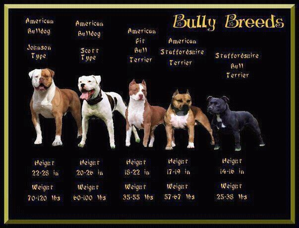 5 Popular Different Types Of Pitbulls Breeds With Pictures Bully