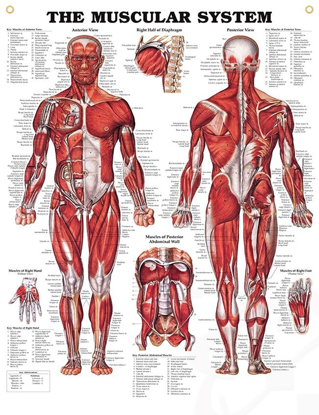 Size Does Matter | Muscular system, Anatomy and Muscles
