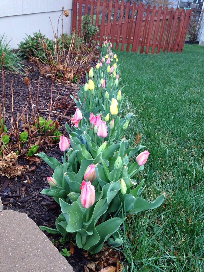 Tulips in early Spring