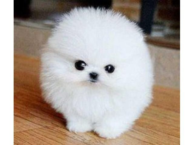 Home Trained White Micro Tiny Teacup Pomeranian Puppies Fluffy