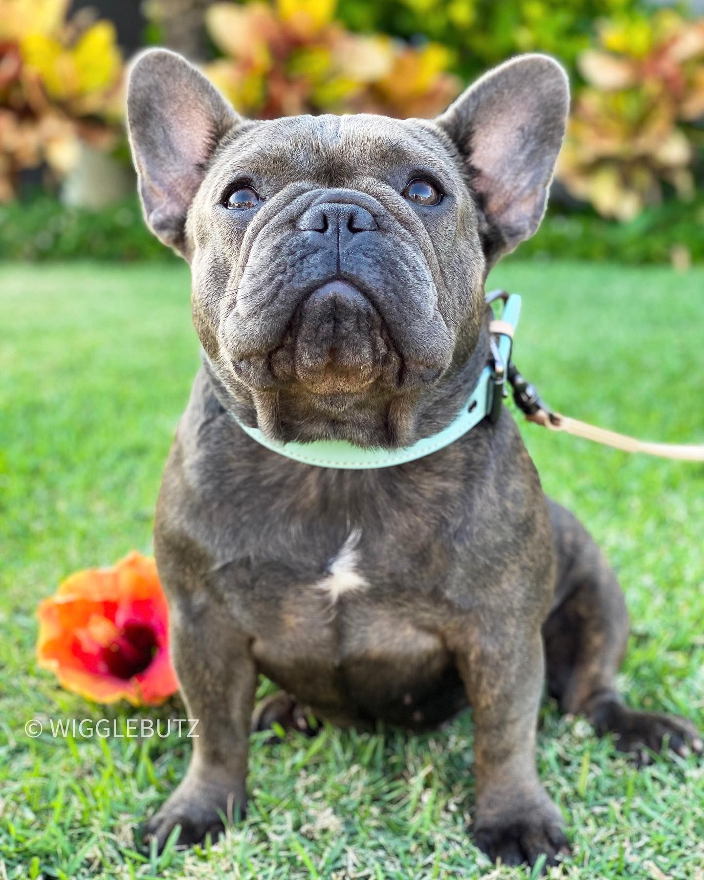 Celebrate Every Win No Matter How Small Blue Mini Frenchie True Inquire For French Bull In 2020 Bulldog Puppies For Sale Bulldog Puppies French Bulldog Puppies