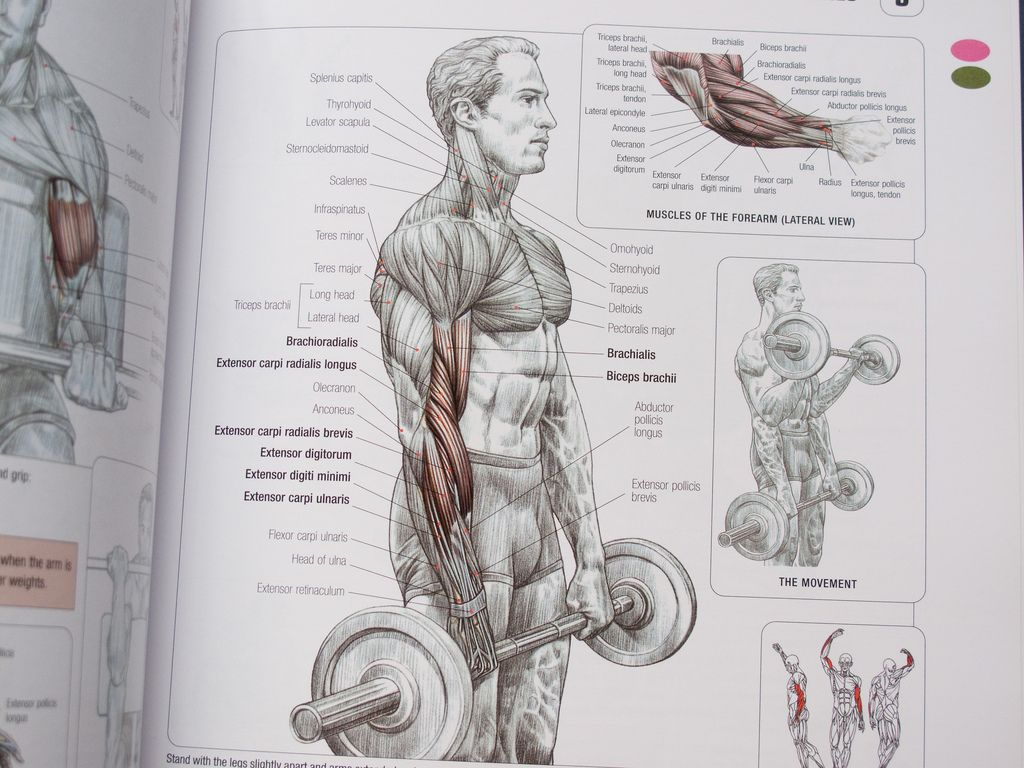 Forearm Lateral View. | Strength Training Anatomy | Pinterest ...