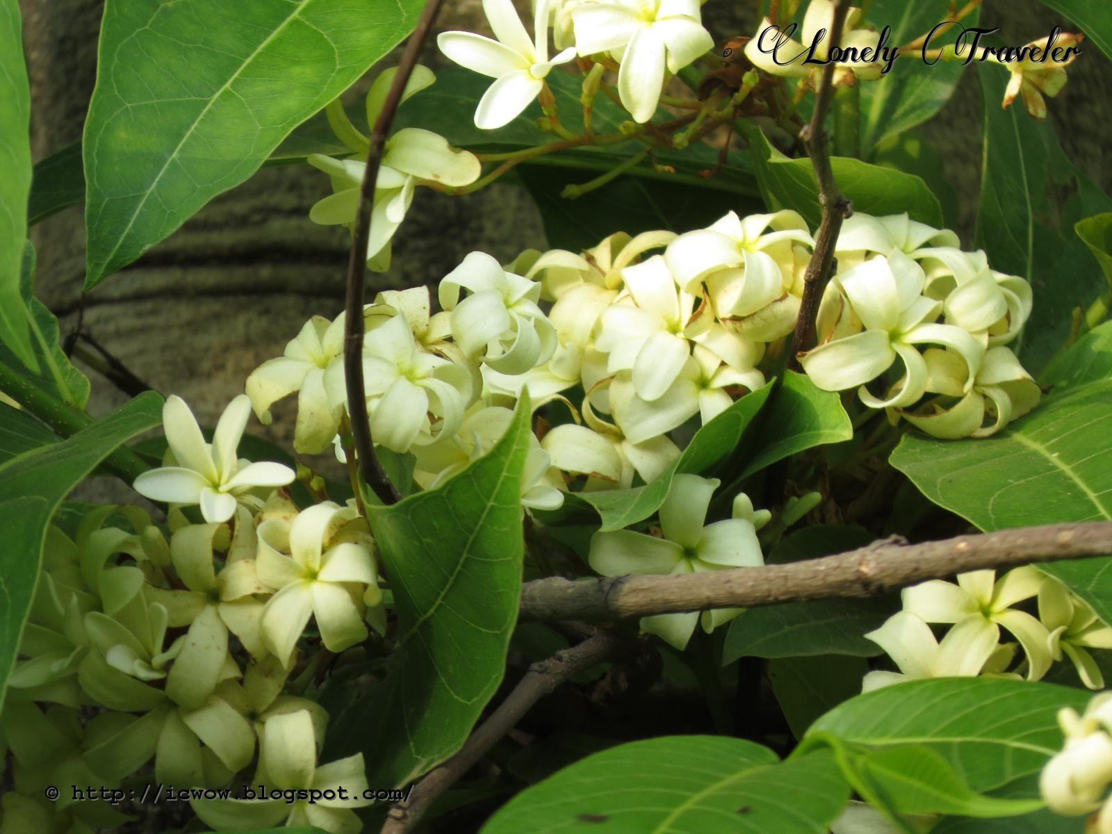 Kurchi Ful ক র চ ফ ল Holarrhena Pubescens Jasmine Tree Botanical Flowers