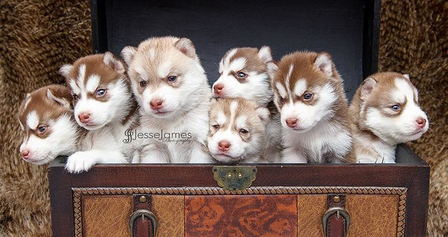 Siberian Husky Puppies I Want A Trunk Full Of Husky Babies For