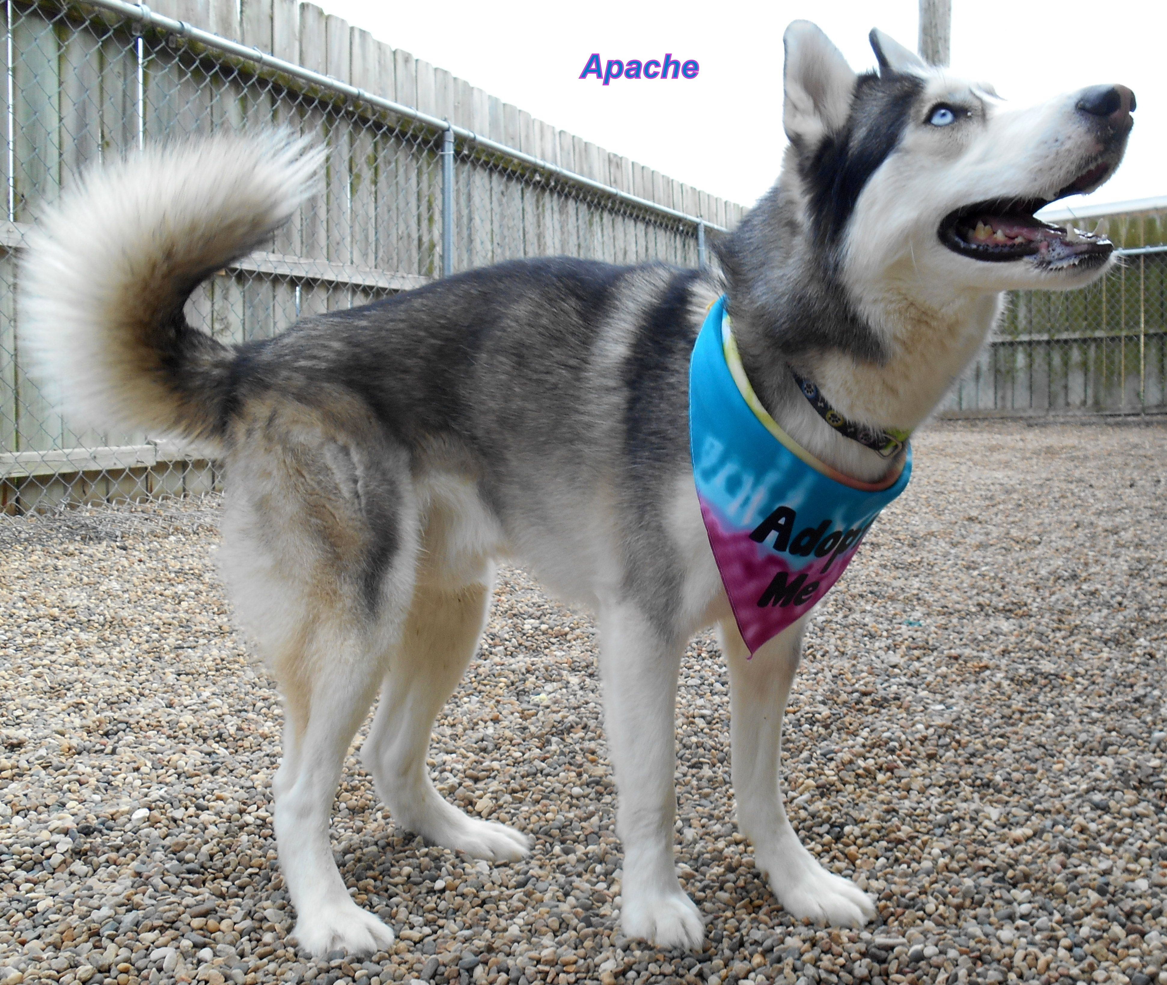 Siberian Husky Dog For Adoption In Oskaloosa Ia Adn 540168 On