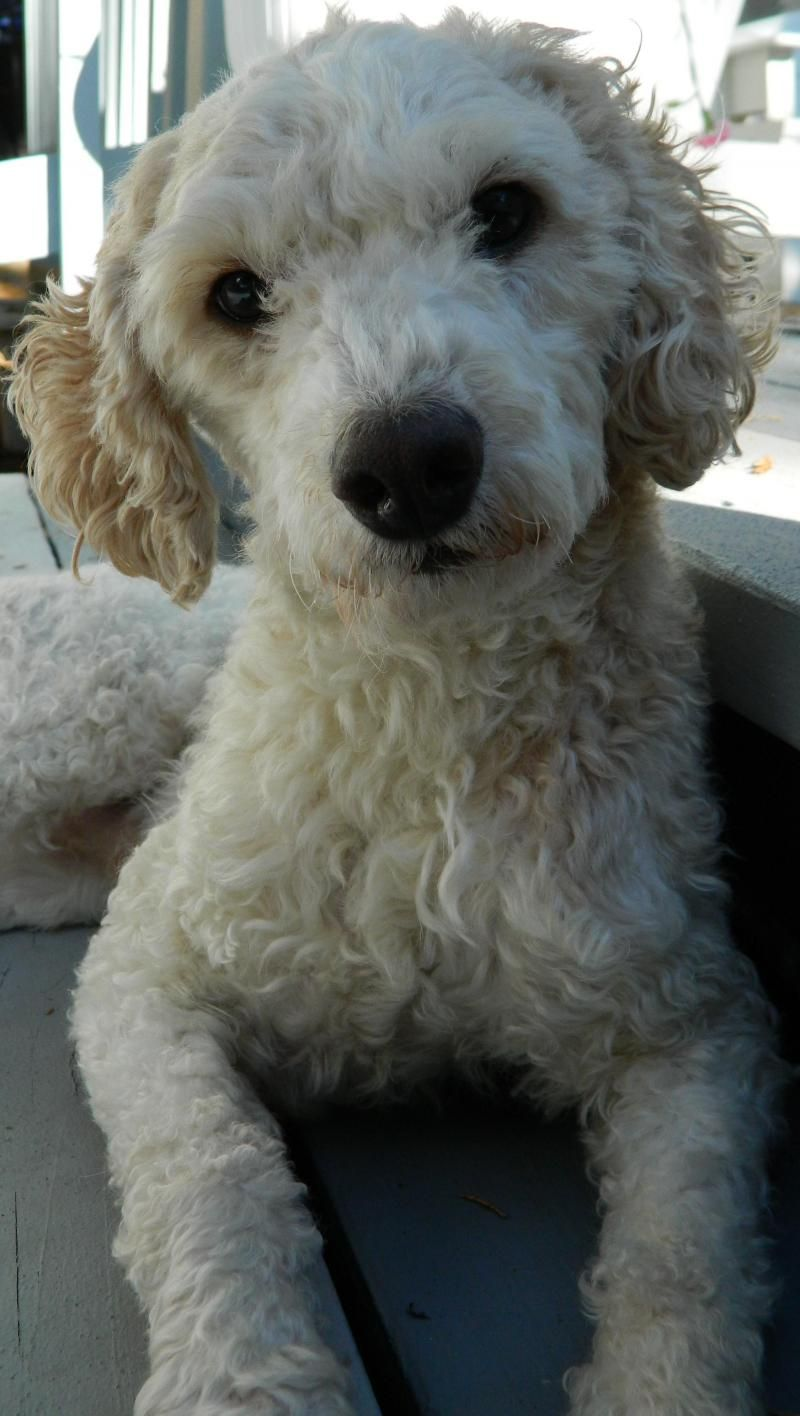 Adopt Wesson on | Doggie Love | Terrier poodle mix, Lakeland