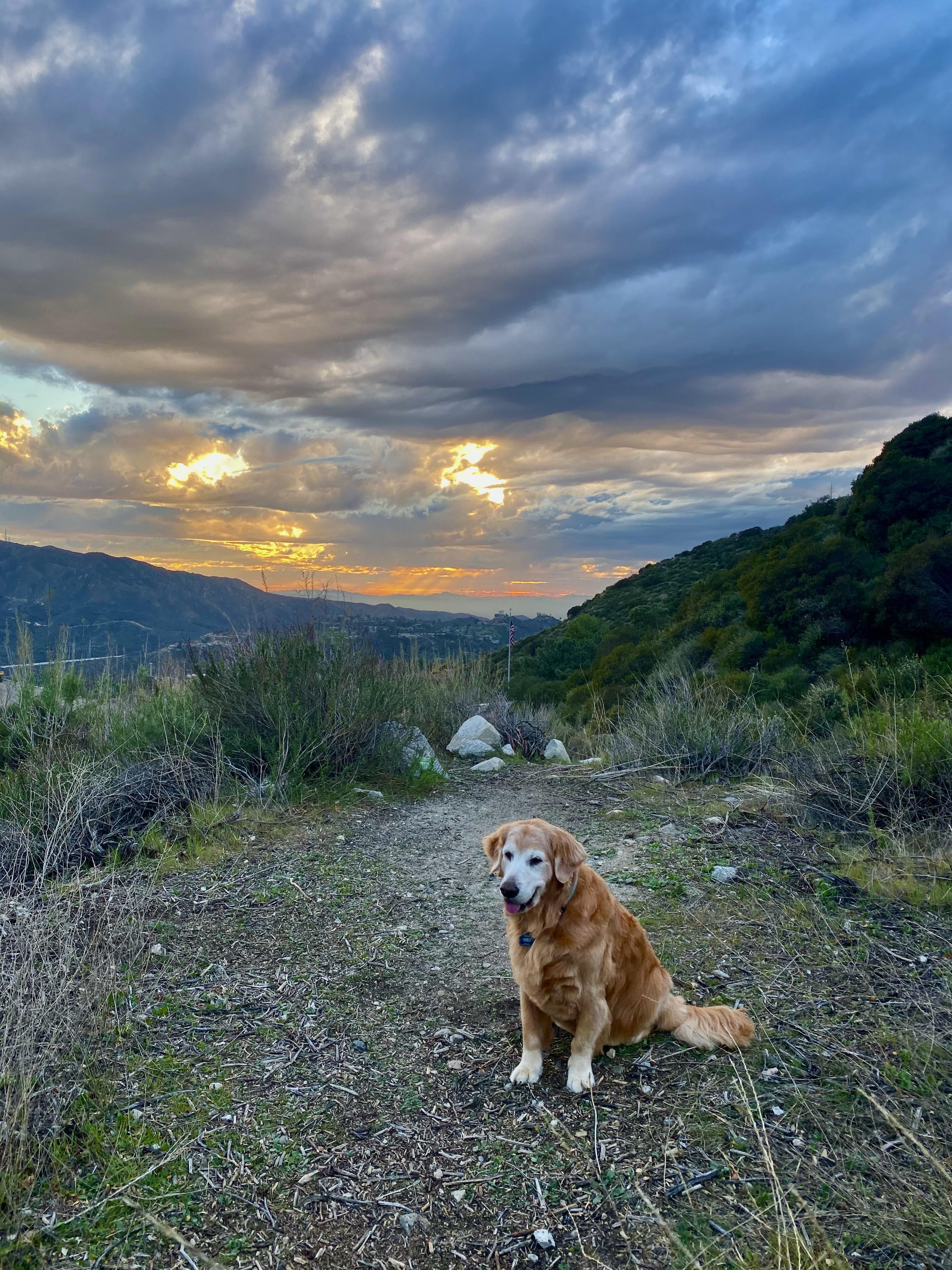 A golden at a golden sunset oc your daily dose of cute