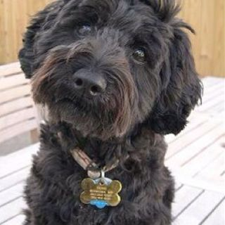 Schnoodles Are The Best Schnoodle Dog Poodle Cross Breeds Schnoodle