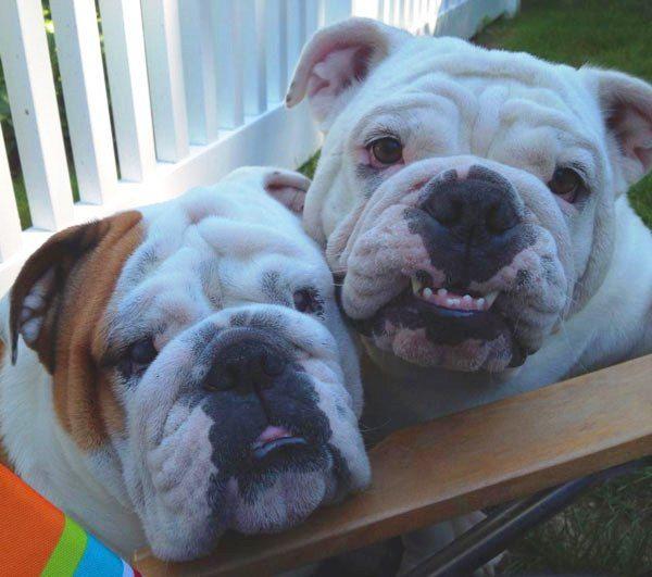 Say cheese! #englishbulldog #smiling
