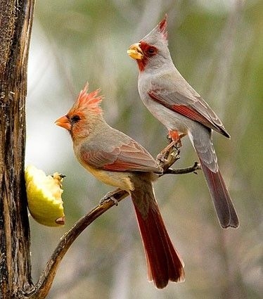 Desert Cardinal Pair Female On Left Male On Right With Images