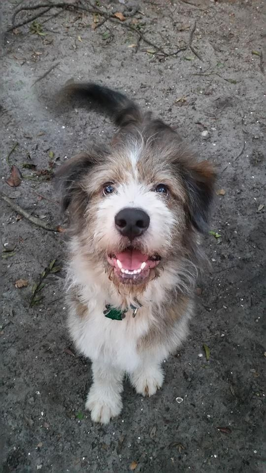Adopt Mr Scruffles On Old English Sheepdog English Sheepdog