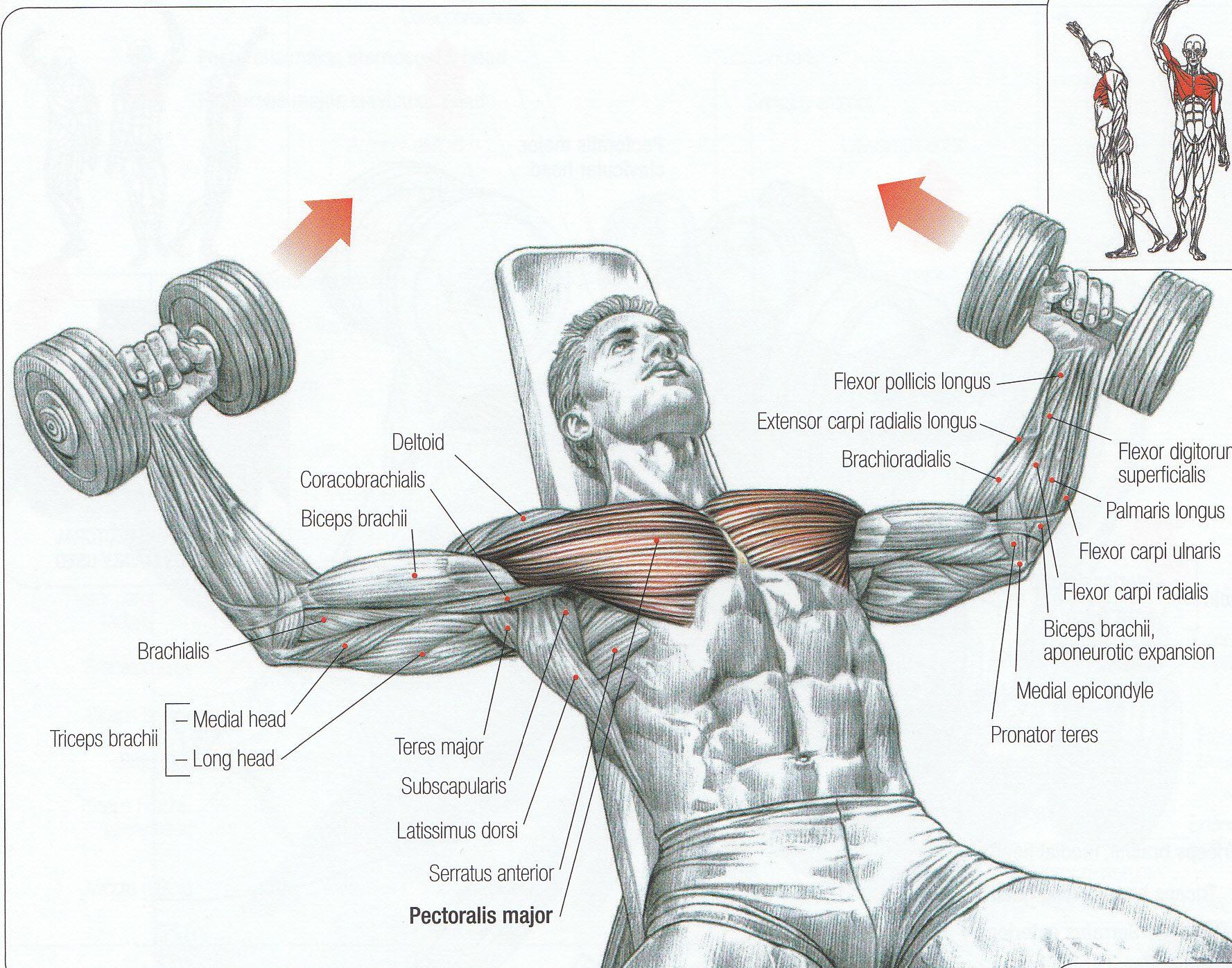 the strength training anatomy workout pdf