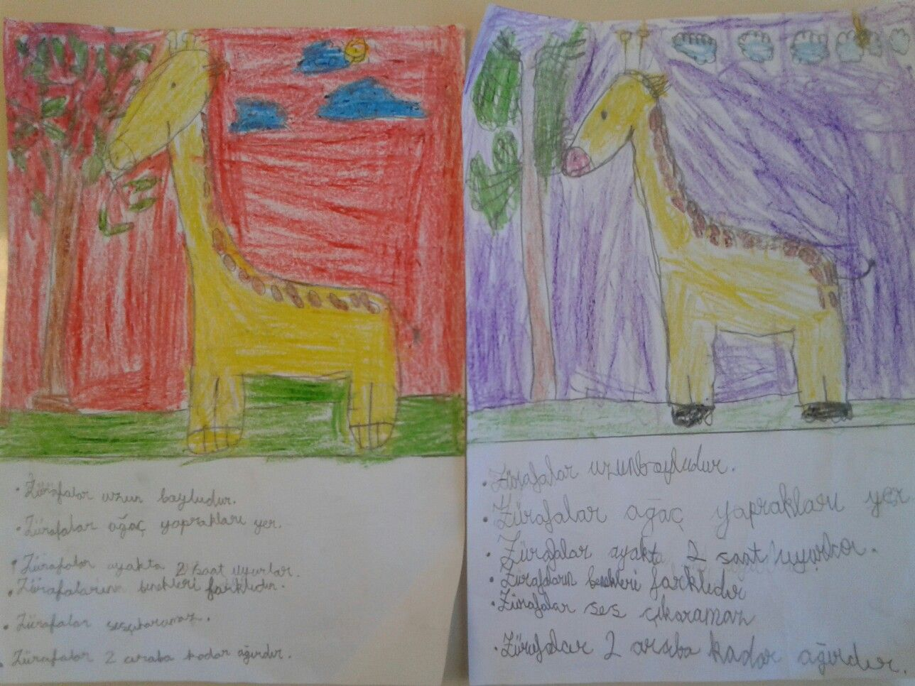 zurafalar hakkinda yazi ve gorsel calismamiz..(giraffi drawing and about writing 1st class )