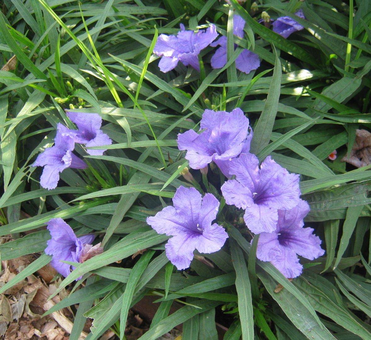 Types Of Lilies In Florida: One More Summer Sizzler -- Mexican Petunia