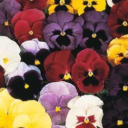 Pansy Mello 21 F1 Hybridviola X Wittrockiana Flowers Planting Flowers Pansies