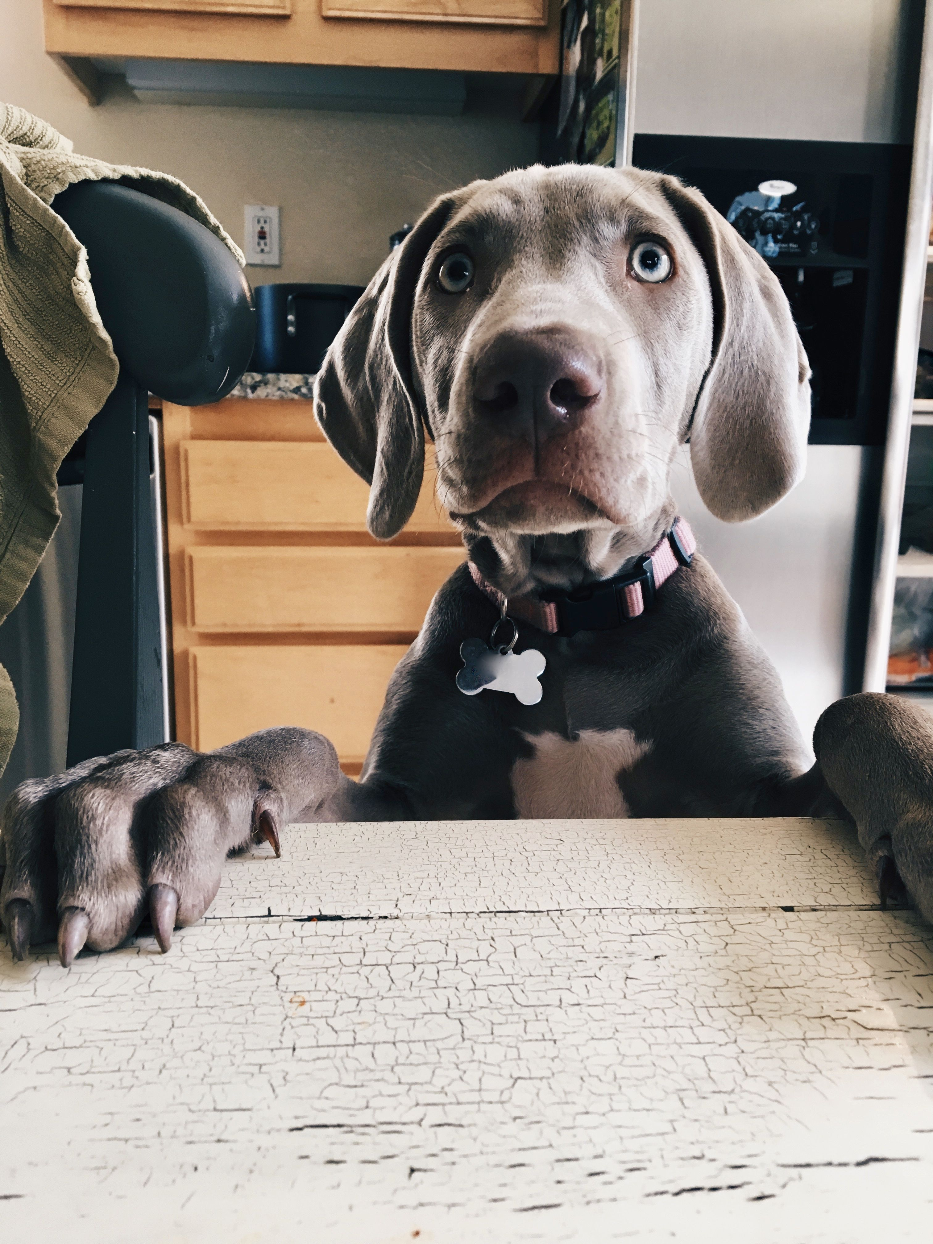 Weimaraner Puppy Begging Female Dog Grey Food Cute Adorable With