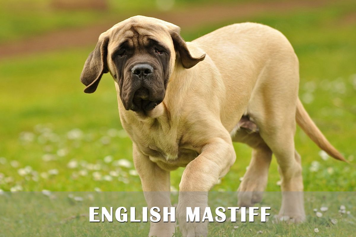 English Mastiff Puppies For Sale In Pa English Mastiff Puppies
