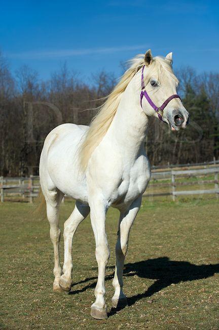 White horse walking in sunshine, an Arabian stallion with ...