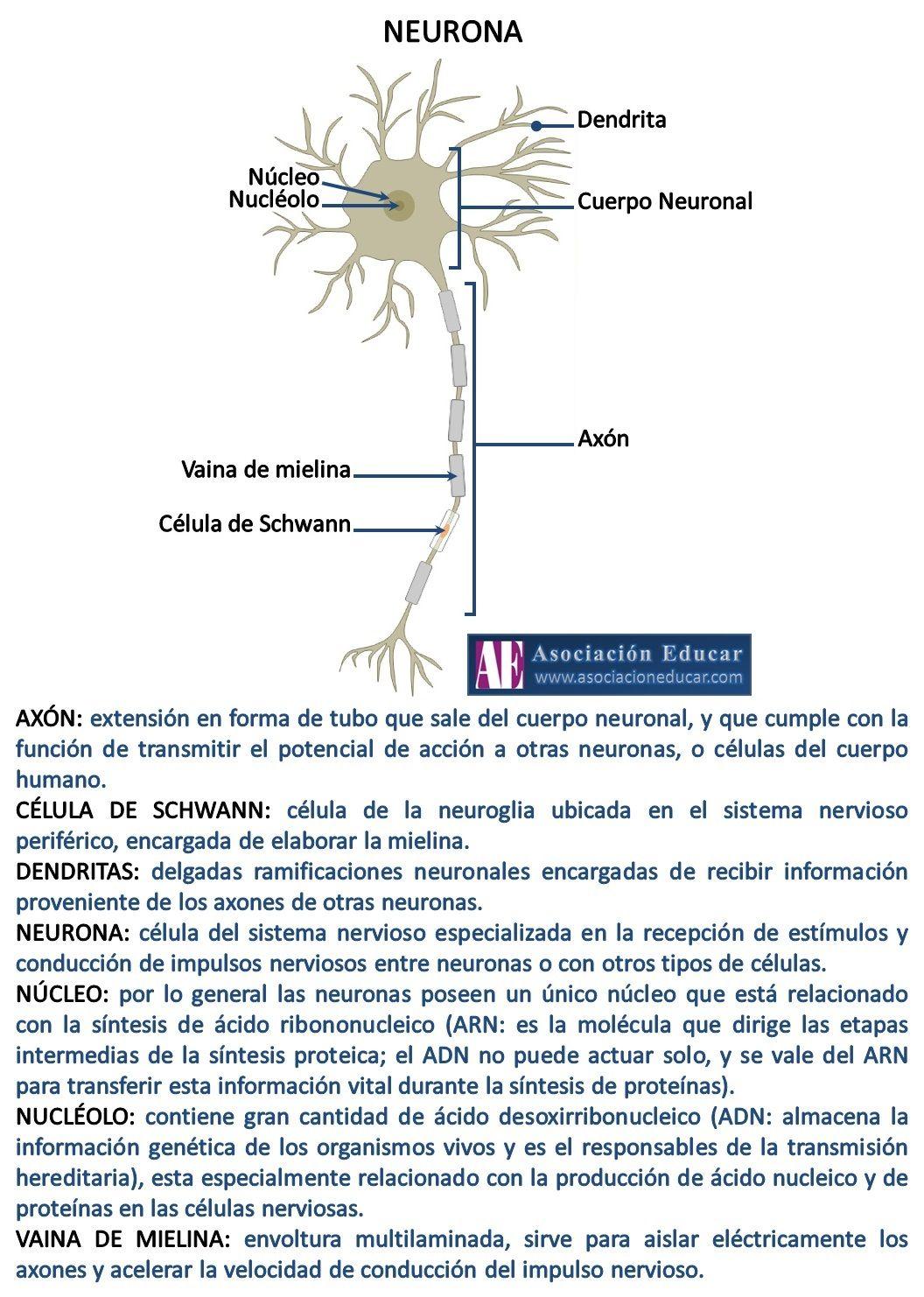 Infografía Neurociencias: Partes de una neurona. Material de uso ...