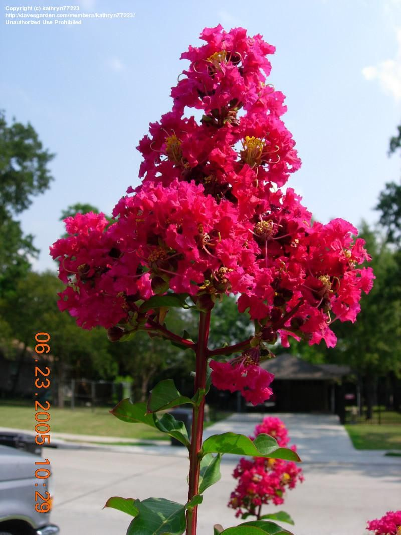 Crepe Myrtle Bush Plantfiles Picture 1 Of Crepe Myrtle Crape